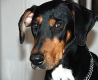 Delectus étrenddel gondozott erdélyi kopó szuka kutya portré