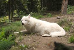 Titán, sarki fehér farkas, Canis lupus arctos, mellső lábára lesántult
