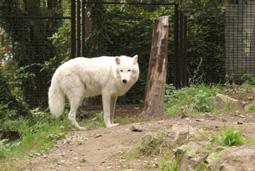 Titán, sarki fehér farkas, Canis lupus arctos, már próbálgatja a lábát