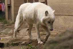 Titán, sarki fehér farkas, Canis lupus arctos, közlekedik a kifutóban
