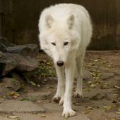 Titán, sarki fehér farkas, Canis lupus arctos, aktívan kutyagol