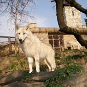 Titán, sarki fehér farkas, Canis lupus arctos, teljes felépülése