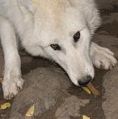 Titán, sarki fehér farkas, Canis lupus arctos, etetése 1. fokozat